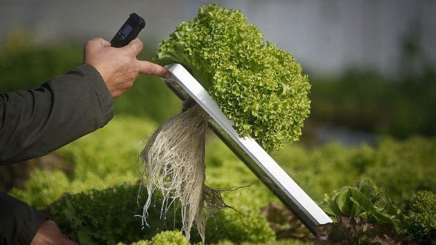 Cultivo de lechugas sin tierra