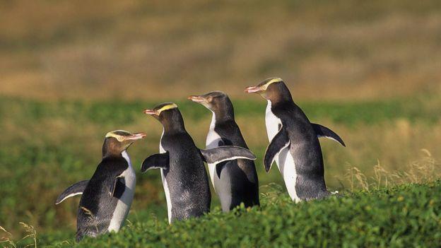 Жовтоокі пінгвіни
