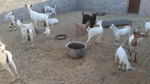 قطيع من الماعز في منطقة رابكوت في عمان