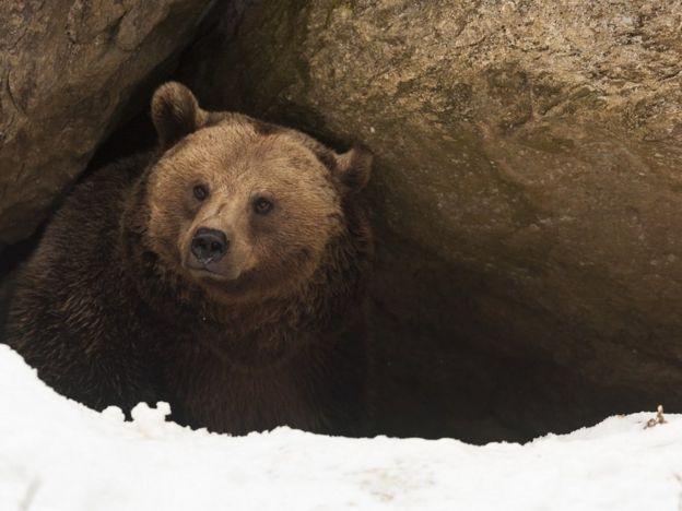 Um urso saindo da caverna, após hibernação. Ainda há neve na entrada
