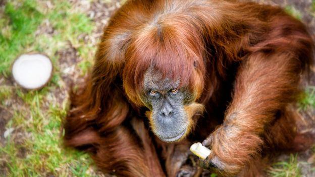 """""""ژنهای او به حدود ده درصد از جمعیت فعلی اورانگوتانهای باغ وحشها در جهان منتقل شده است."""""""