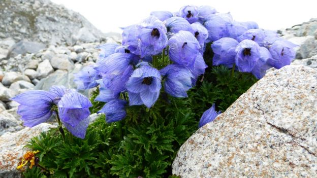 Delphinium glaciale flower on Ngozumpa Glacier at an elevation of 4,750m