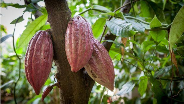 شجرة الكاكو