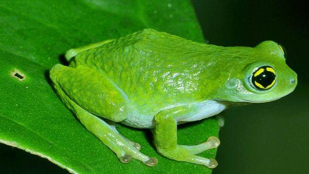 india s maverick frog man bbc news