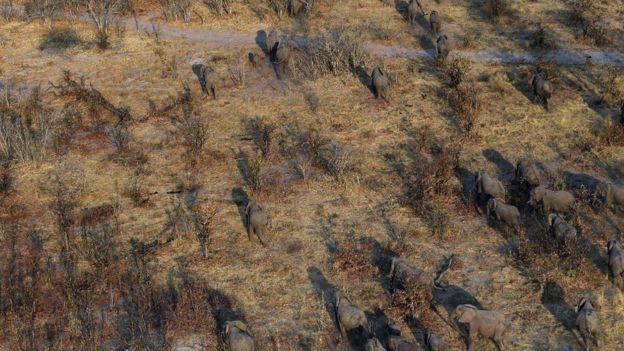 Elephants correm pela planície de Chobe district, em Botsuana