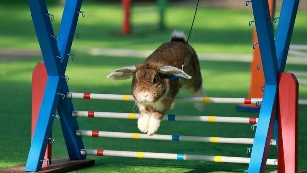 اگر خواستید خرگوشتان را وارد مسابقه پرش بکنید قبلش با یک دامپزشک مشورت کنید