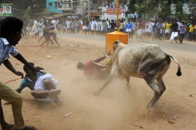 A Bull Charges Through A Crow Of Indian Participants And Bystanders During Jallikattu An Annual
