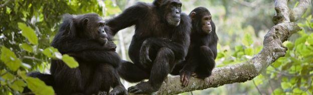 Chimpanzees in Africa
