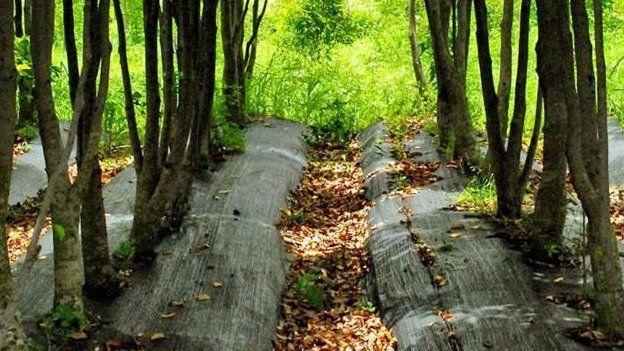 Các đồn điền như đồn điền Koon Wing Chan là một cách bền vững để thu hoạch gỗ trầm hương.