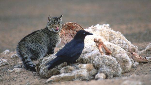Gato selvagem se alimenta de animal morto em estrada na Austrália