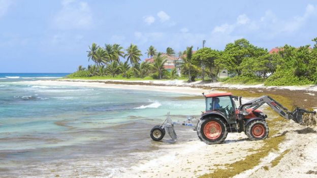 Mechanical harvesting of sargassum seaweed, sargassum fluitans and sargassum natans, on the beach of Saint-Francois, in Guadeloupe. Sargassum seaweed are a real scourge to the economy and a threat to biodiversity.