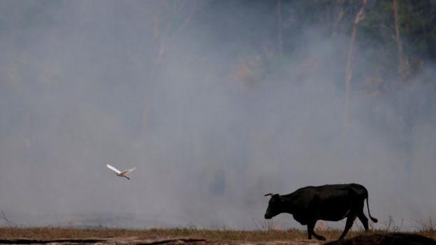 Um boi e uma ave em frente a fumaça decorrente de floresta queimada