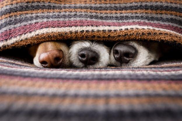 Narices de tres perros bajo el edredón.