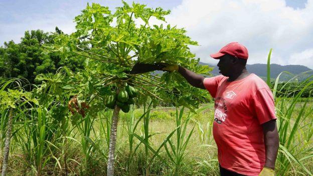 Un granjero en St Kitts