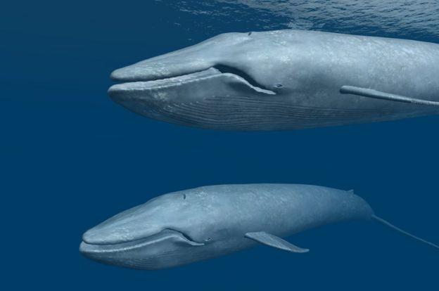 Dos ballenas azules