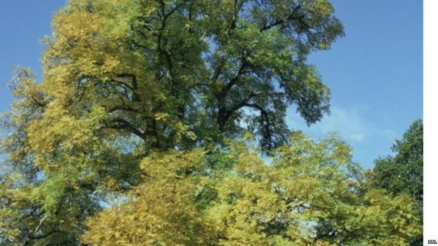 Ash tree (Science Photo Library)