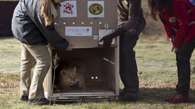 Filhotes de leão sendo libertados em uma reserva para animais na África do Sul