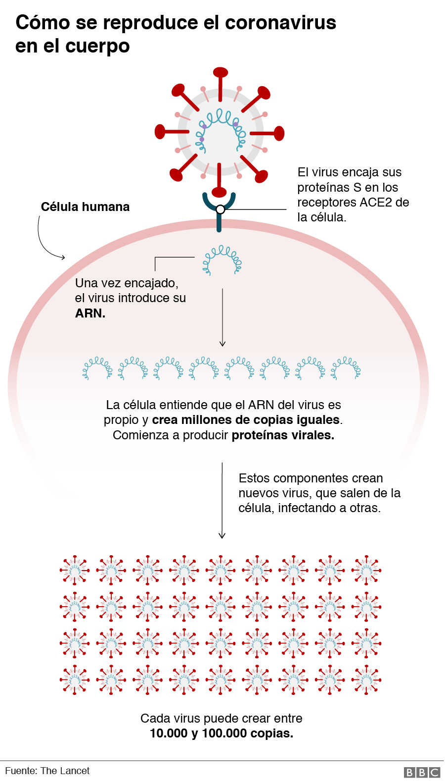 Gráfico de cómo se reproduce el coronavirus en el cuerpo.
