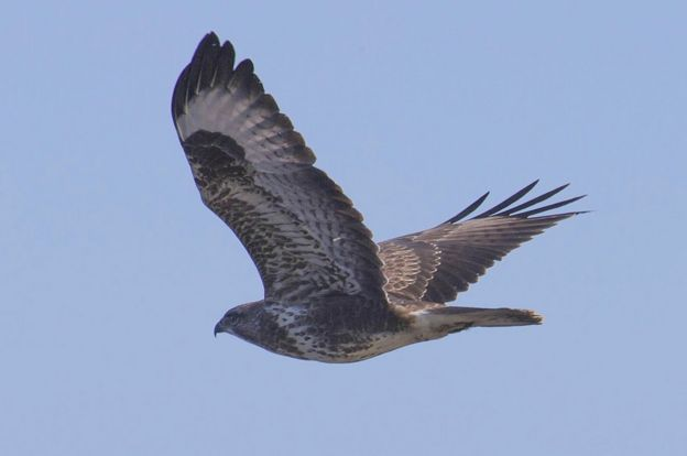 how buzzards came to fly over the uk again bbc news