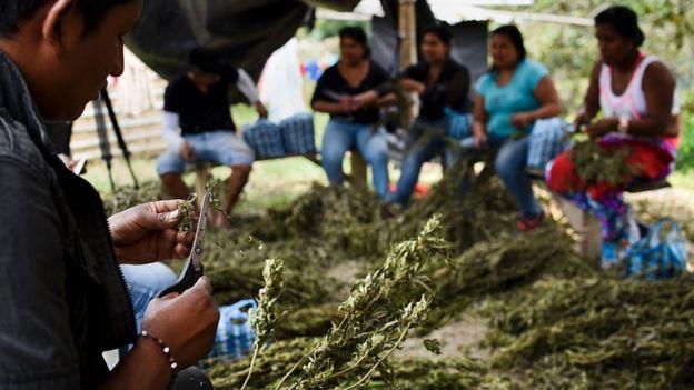 Plantaci'on de mariahuna en el Cauca.