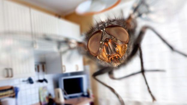 La mosca casera es uno de los insectos más resistentes. Foto: GETTY IMAGES