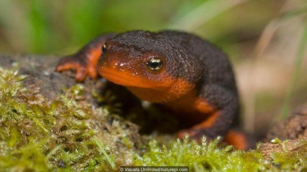 A rough-skinned newt (Taricha granulosa)