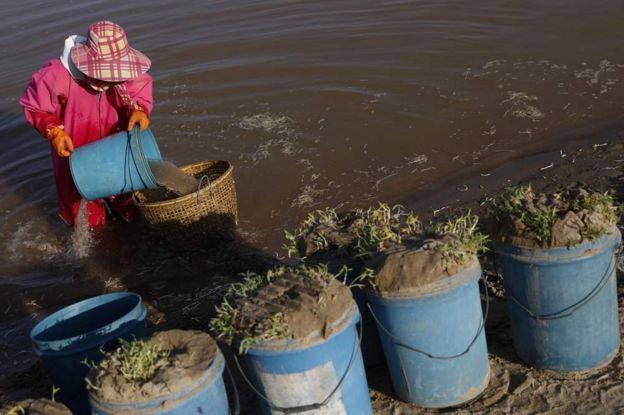 豆芽種植是其中一個受影響最大的農產品。豆芽田正在減少。