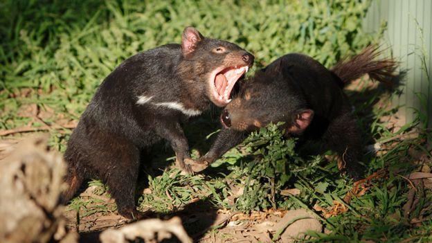 Fighting Tasmanian devils
