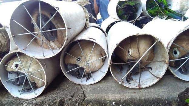 Cockatoos stuffed inside drainage pipes following a raid