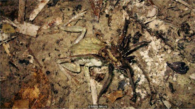 Aranha comendo sapo