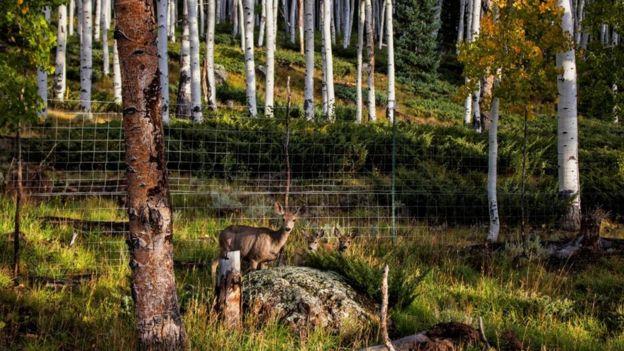 Um veado no bosque Pando