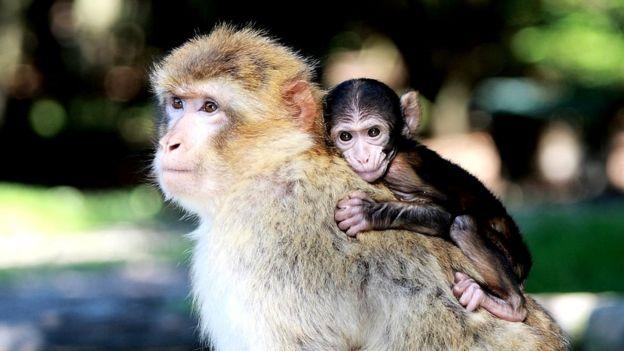 Un mono a espaldas de la madre.