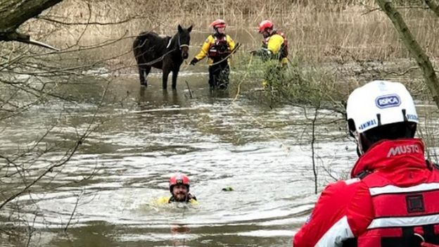 RSPCA of the animal welfare charity???s specialist water rescue team helping a trapped pony out of flood water from a field beside the River Wey in Guildford,