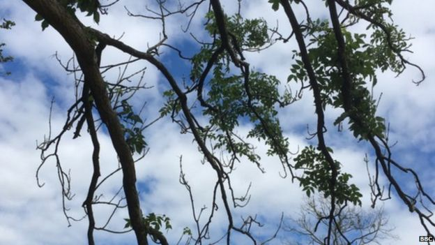 Tree suffering from ash dieback (Image: BBC)