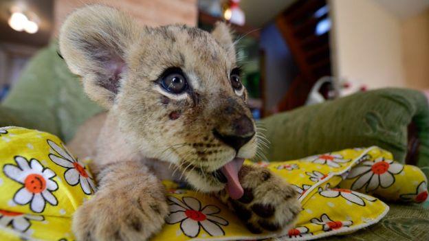 Astra, um filhote de leão de dois meses de idade, fotografado no zoológico de Sadgorod, in 2017