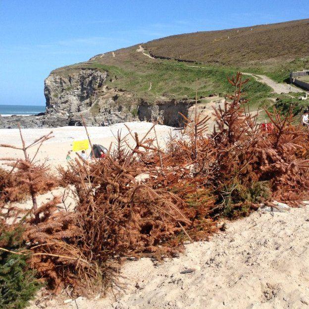 Brown Christmas trees semi-buried at Porthtowan