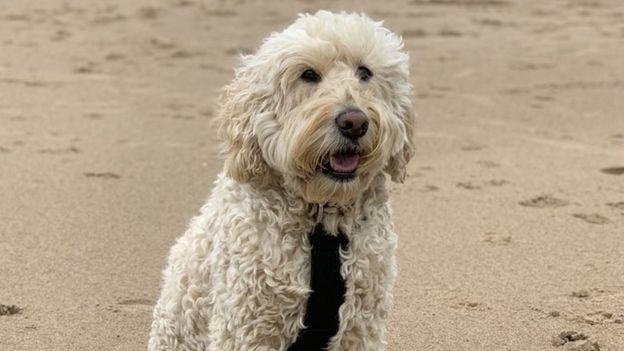 Barney, un labradoodle, en la playa.