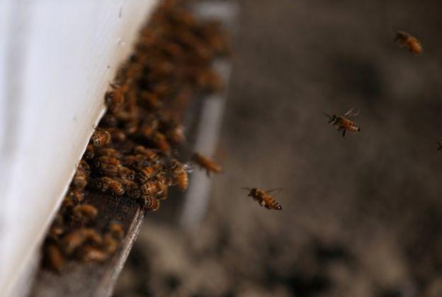 D'après le récit des faits, un essaim d'abeilles a aussitôt envahi le véhicule et forcé le suspect à prendre des voies menant directement à la police sur les regards stupéfaits de plusieurs témoins.