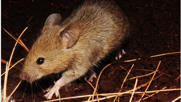 Super-sized' mice threaten seabird colonies with extinction