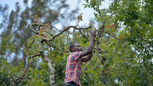 A khat farmer harvests shoots of khat at his farm in Maua, in Meru county on September 9, 2016 in Kenya's central province.