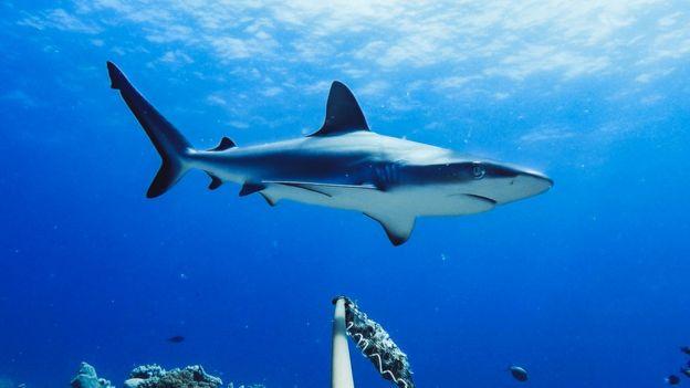 Grey reef shark in Australia