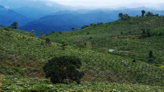 Une plantation de café en fleurs au Vietnam