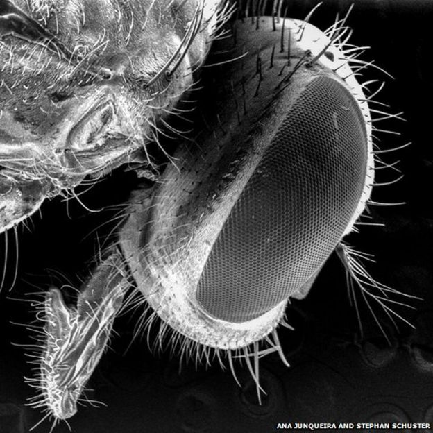 Mosca varejeira sob um microscópio eletrônico