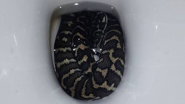 The carpet python curled up in the toilet bowl