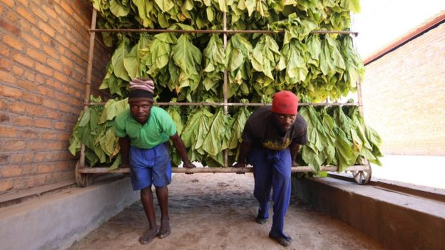 Two men moving a rack full of tobacco leaves in Zimbabwe