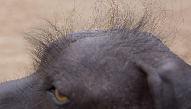 """Los llaman """"perros primitivos"""" porque se encuentran entre un pequeño conjunto de razas cuyas características genéticas no han cambiado en miles de años."""