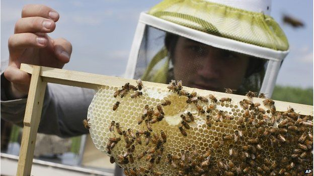 Volunteer Ben Merritt, a graduate student at the University of Cincinnati, checks honey bee hives for queen activity and performs routine maintenance as part of a collaboration between the Cincinnati Zoo and TwoHoneys Bee Co., Wednesday, May 27, 2015