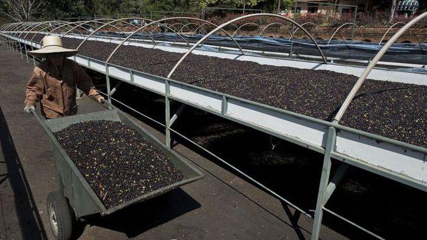 Producción de café en Brasil.