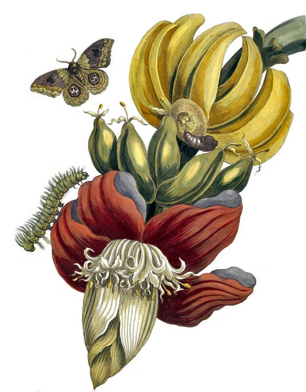 Banano en Surinam