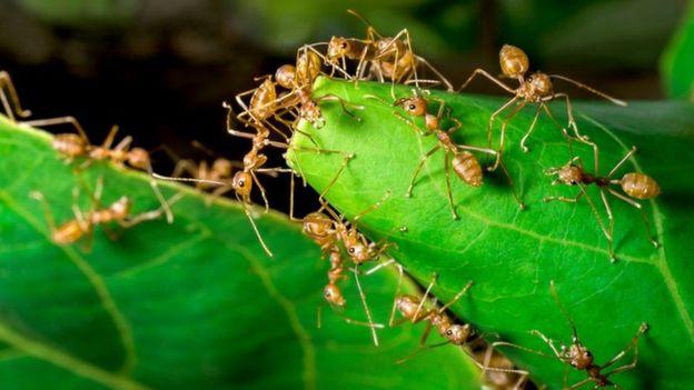 Hormigas tejedoras